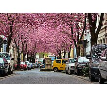 Rows of cherry blossom trees in full bloom on Heerstrasse (cherry blossom avenue) in Bonn in Germany Photographic Print