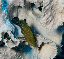 Bluespotted Grouper, Kimbe Bay, Papua New Guinea by Erik Schlogl