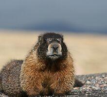 Colorado Marmot by Dazie4252