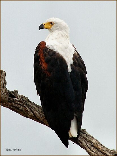 AFRICAN FISH EAGLE - Haliaeetus vocifer -Visarend by Magaret Meintjes