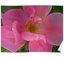 A Single Pink Rose  Poster