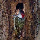 Bearded Woodpecker by Pauline Adair