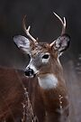 Deer boy - White-tailed Deer by Jim Cumming