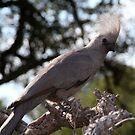 """Go Away' Bird by Pauline Adair"