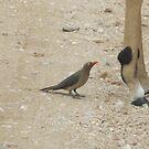 Red-billed Ox Pecker wanting a ride by Pauline Adair