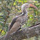 Red-billed Hornbill by Pauline Adair