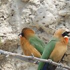 White fronted Bee-eaters by Pauline Adair