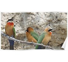 White fronted Bee-eaters Poster