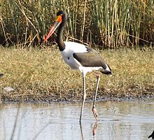 Saddle billed Stork by Pauline Adair