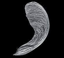 Maple Seed by Jeffrey  Sinnock