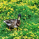 Duck in the Flower Patch by Emily McAuliffe