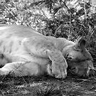 Tired lioness by Anna Phillips