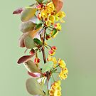 Blooming berberis by 7horses
