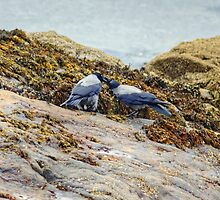 Hooded Crows by Jamie  Green