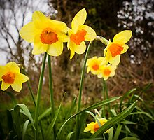 Spring Daffodils 2 by mlphoto
