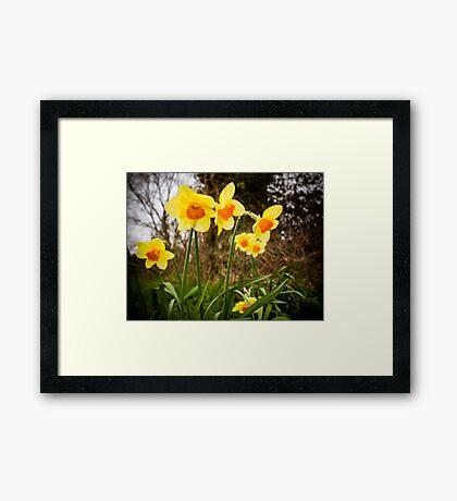 Spring Daffodils 2 Framed Print