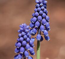 Grape Hyacinths   by withacanon