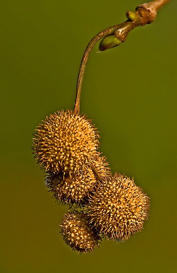 Fruits of Platanus orientalis in the morning light by Konstantinos Arvanitopoulos