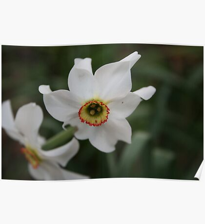Flower - narcissus Poster