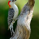 Working on It - Female Red-Belllied Woodpecker by Janice Carter