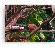 Baby Cardinal discovers food Canvas Print