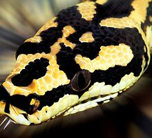 Snake,carpet python. by JeanNieman