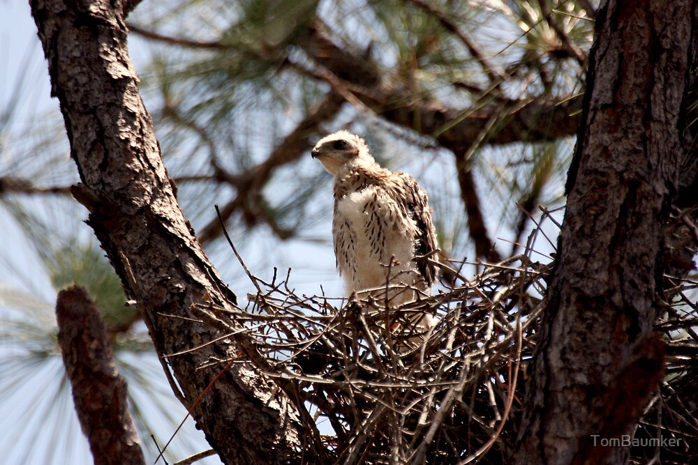 YOUNG RED SHOULDER HAWK by TomBaumker