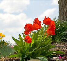 Tulipfire on the horizon by Nicole  McKinney