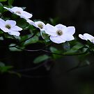 Dogwood in Bloom by franceshelen