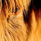 Scottish Highlander Cow by franceshelen