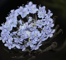 blue lace flower    (trachymene coerulea) by Grant Thornett