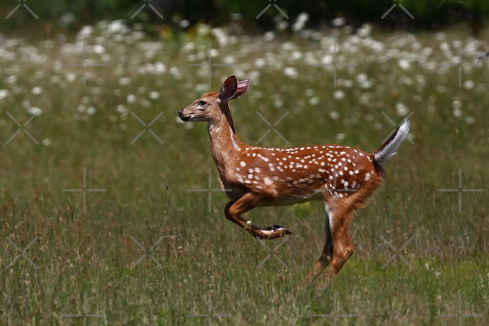 White-tailed deer - Fawn by Jim Cumming