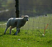 Lamb With An Itch by glynk