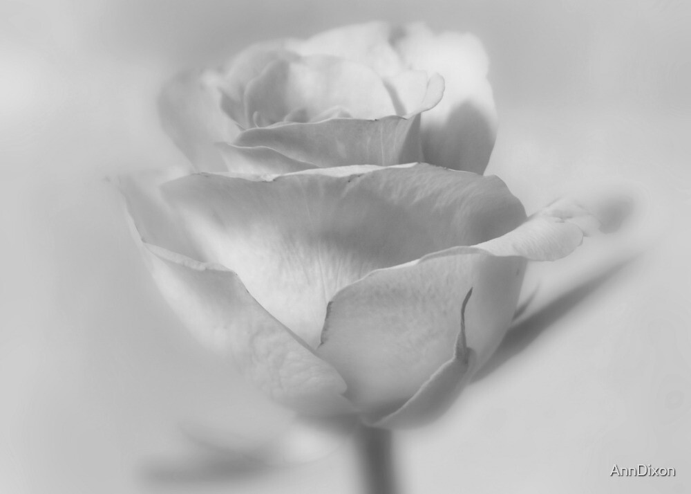Rose in B&W by AnnDixon
