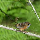 Southern Emu Wren (Male)_Cattai Wetlands - Best viewed Large by Alwyn Simple