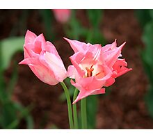 Beautiful Pink Tulips Photographic Print