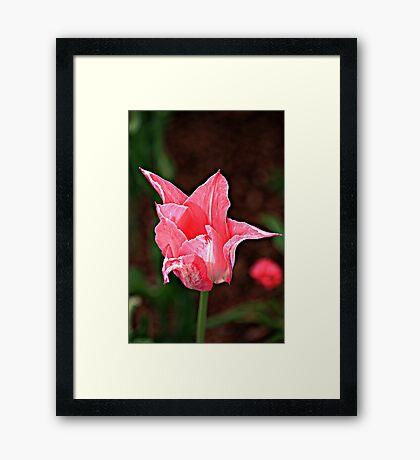 Beautiful Bright Pink Tulip Framed Print