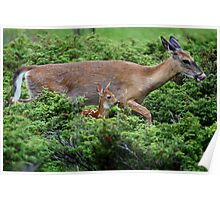 Mother and child reunion - White-tailed Deer Poster