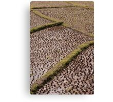 Paddy fields Canvas Print