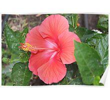 Hibiscus in the Garden Poster