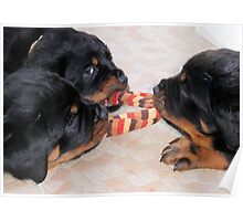 Three Rottweiler Puppies In A Tug Of War Poster