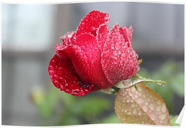 Droplets on a Rose by Windy Rodriguez