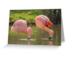Chilean Pink Flamingo Greeting Card