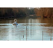 Heart of gold courting mute swans Photographic Print