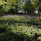 BLUEBELL WOODS by Jack Catford