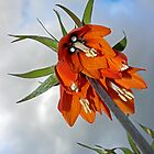 Orange Fritillaria from underneath by Avril Harris
