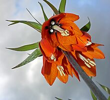 Orange Fritillaria from underneath by Avril Harris
