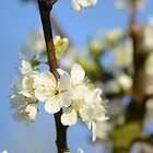 Plum Blossom & Blue Skies by Nixcy