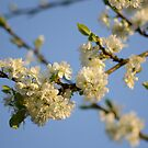Plum Blossom Branches & Blue Skies by Nixcy