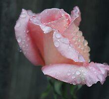 Raindrops on roses by Kaylene Passmore